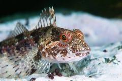 Rascasso elegante sob a água no mar de japão Imagem de Stock