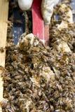 Raschio del miele in eccesso in alveare commerciale Fotografia Stock