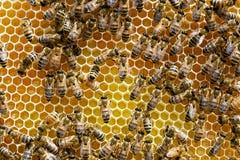 Raschio del miele in eccesso in alveare commerciale Fotografie Stock