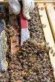 Raschio del miele in eccesso in alveare commerciale Immagini Stock Libere da Diritti