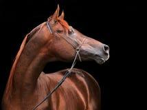 Rasecht Arabisch Paard Stock Fotografie