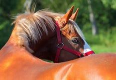 Rasecht Arabisch Paard Royalty-vrije Stock Foto's