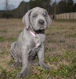Rasecht blauw Great dane-puppy Stock Afbeelding