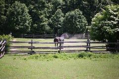 Rasecht paard na het zandbad die het stof schudden stock afbeelding