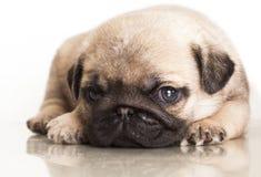 Rasecht pug puppy Stock Afbeeldingen