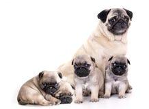Rasecht pug puppy Royalty-vrije Stock Afbeeldingen