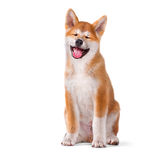 Rasechte die het puppyhond van Akita Inu op wit wordt geïsoleerd stock foto's