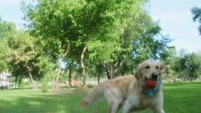 Rasechte grote hond die de bal vangen stock video