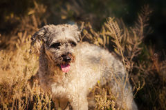 Rasechte krullende rode en witte hond in de zomer Royalty-vrije Stock Fotografie