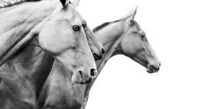 Rasechte paarden stock afbeeldingen
