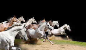 Rasechte paardenkudde op zwarte Stock Fotografie