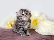 Rasechte pluizig weinig scot ziet omhoog eruit Portret van een klein katje onder bloemen stock foto