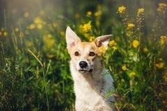 Rasechte rode en witte hond in bloemen Stock Fotografie
