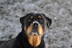 Rasechte Rottweiler Royalty-vrije Stock Foto