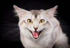 Rasechte Somalische kat Stock Afbeeldingen