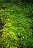 Rasen des frischen grünen Mooses im Wald Lizenzfreie Stockfotografie