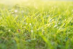 Rasen des grünen Grases mit Tau lässt Hintergrund fallen lizenzfreie stockfotos