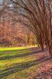 Rasen mit Reihe von Eukalyptusbäumen Stockfotografie