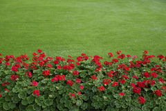 Rasen mit roten Pelargonien Stockbild
