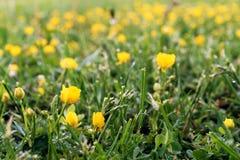 Rasen vom wilden Gras und von den gelben Blumen Stockfotos