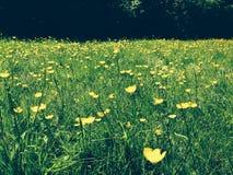 Rasen von Butterblumeen Stockbilder