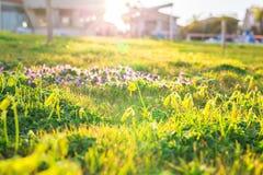 Rasen von Frühlingsblumen und -sonnenlicht Grüner Blumenhintergrund mit Bündel Gras Stockbilder
