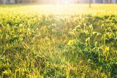 Rasen von Frühlingsblumen und -sonnenlicht Grüner Blumenhintergrund mit Bündel Gras Stockfotografie