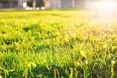 Rasen von Frühlingsblumen und -sonnenlicht Grüner Blumenhintergrund mit Bündel Gras Lizenzfreie Stockfotos