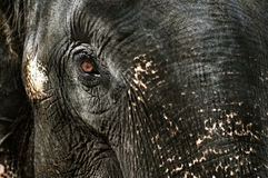 Rasgón del elefante Imagen de archivo libre de regalías