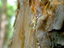 Rasgón del pino Fotografía de archivo libre de regalías
