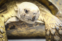 Rasgones de la tortuga Fotografía de archivo libre de regalías
