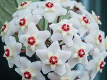Rasgos #3 da flor - carnosa de Hoya na flor fotografia de stock royalty free