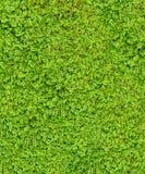 Rasgos de bebê (soleirolii do Soleirolia) Imagens de Stock