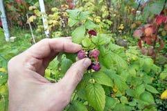 Rasgos de primeira geração idosos do fazendeiro do raspbe maduro do outono do arbusto Fotos de Stock