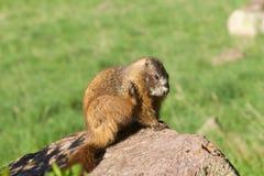 rasguño Amarillo-hinchado de la marmota Imagenes de archivo