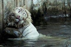 Rasguño blanco del tigre de Bengala Imagen de archivo
