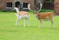 Rasguño de los ciervos Imagen de archivo libre de regalías