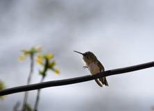 Rasguño del colibrí Fotos de archivo