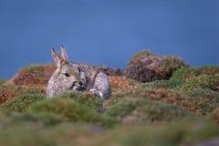 Rasguño del conejo de la isla de Skokholm Imagen de archivo