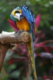 Rasguño del Macaw imagenes de archivo