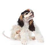Rasguño del perrito de cocker spaniel Aislado en el fondo blanco fotografía de archivo