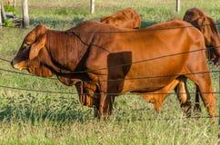 Rasguño del toro de Droughtmaster Fotos de archivo