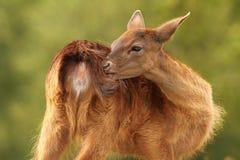 Rasguño femenino de los ciervos en barbecho Fotos de archivo libres de regalías