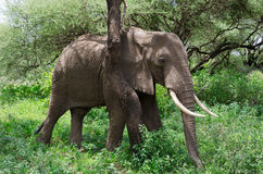 Rasguños del elefante Imagenes de archivo