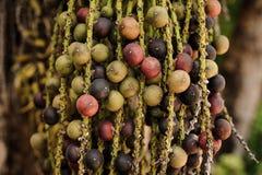 Rasgue la fruta de la palma de la areca o de betel en naturaleza Fotografía de archivo libre de regalías