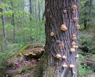 Rashi蘑菇 免版税库存照片