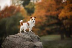 Rashund Jack Russell Terrier utomhus på en höstdag arkivfoto