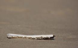 Rasiermesser-Shell Lizenzfreies Stockbild