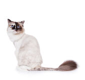 Rasierte Ragdoll Katze   Stockfotografie