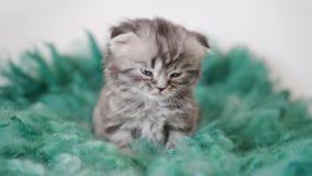 Raskatje met hangende oren Close-upportret van een katje 4K stock footage